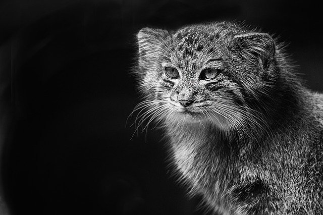 divoká kočka
