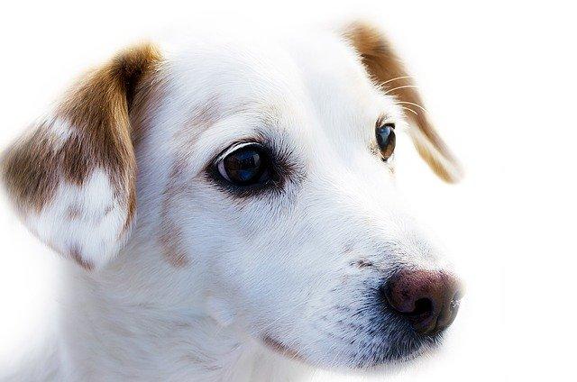 Biele šteniatko s hnedými ušami.jpg